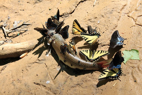 Butterflies scavenging dead fish.